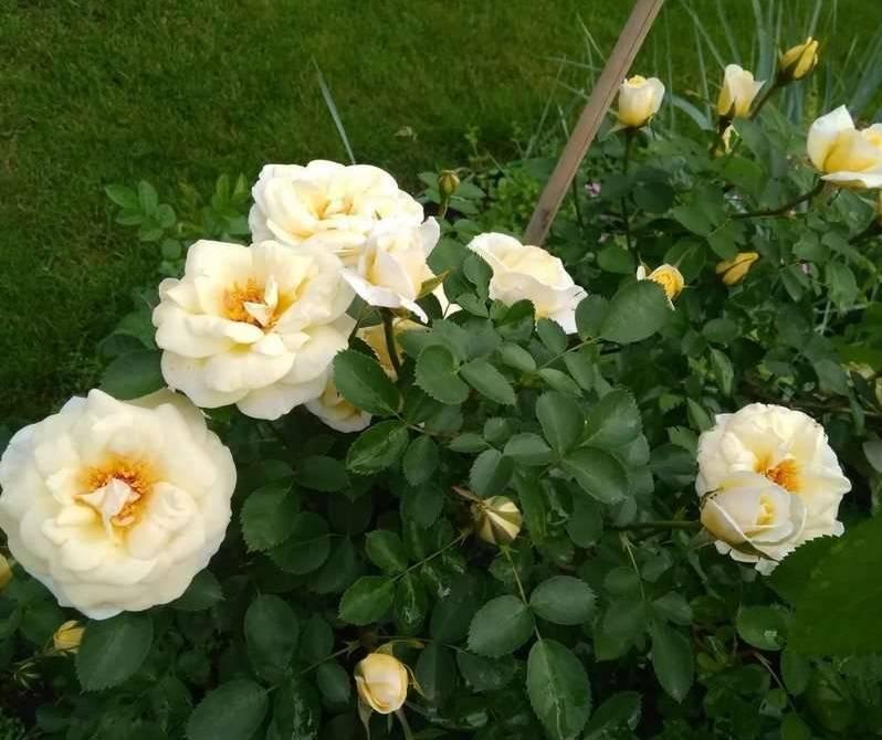 Самые зимостойкие сорта канадских роз – проверены российскими морозами!