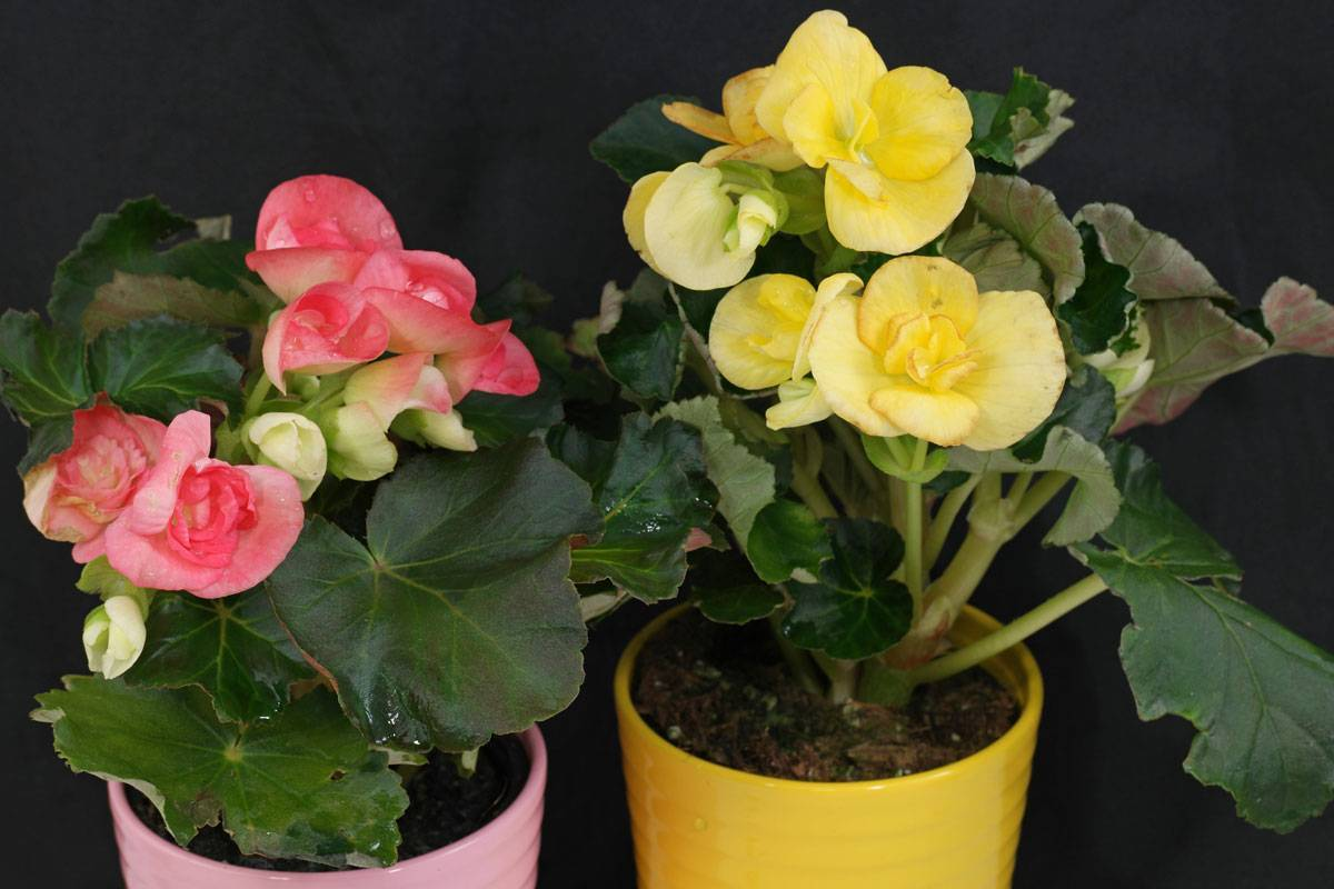 Бегония элатиор уход в домашних условиях после покупки и цветения