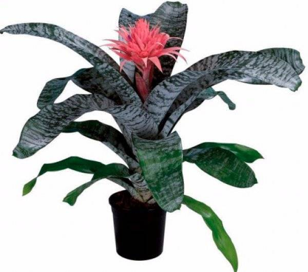 Королева — эхмея: описание основных видов растения с фото