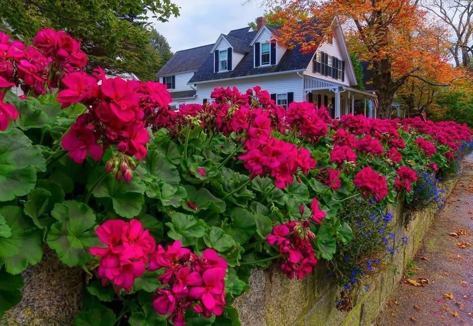 Посадка в открытый грунт и уход на улице за многолетней садовой геранью: