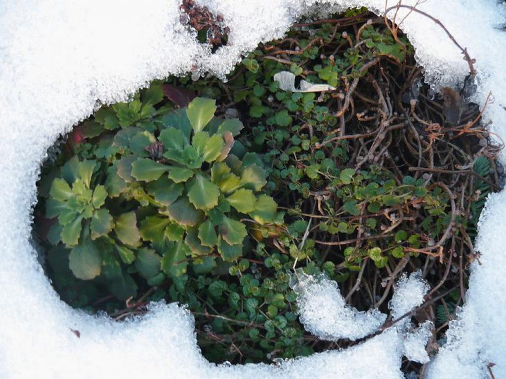 О выращивании камнеломки, посадке и уходе в домашних условиях, в открытом грунте