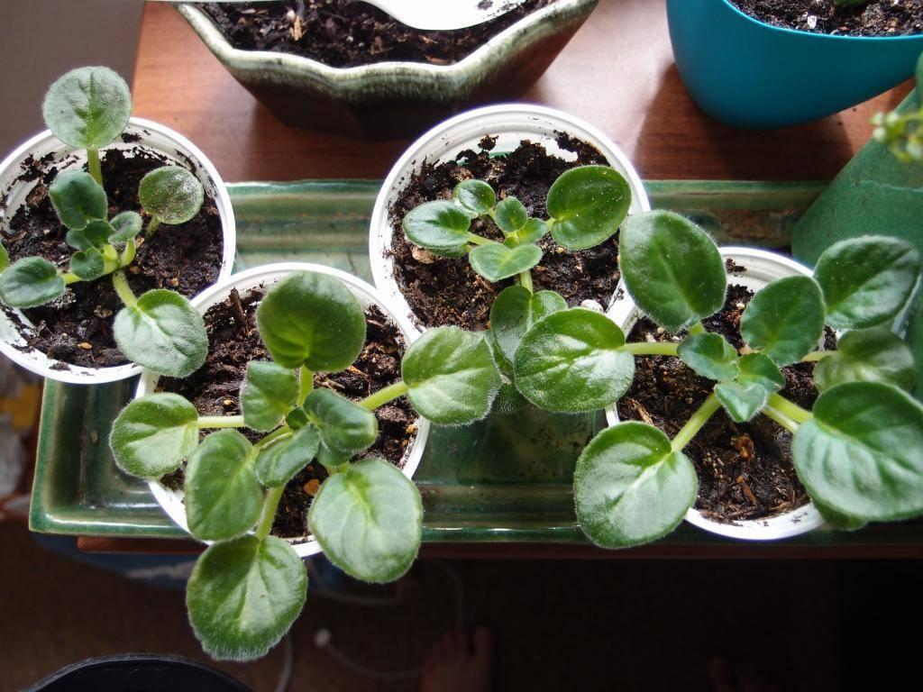 Всё про узамбарскую фиалку: размножение и уход за сенполиями дома