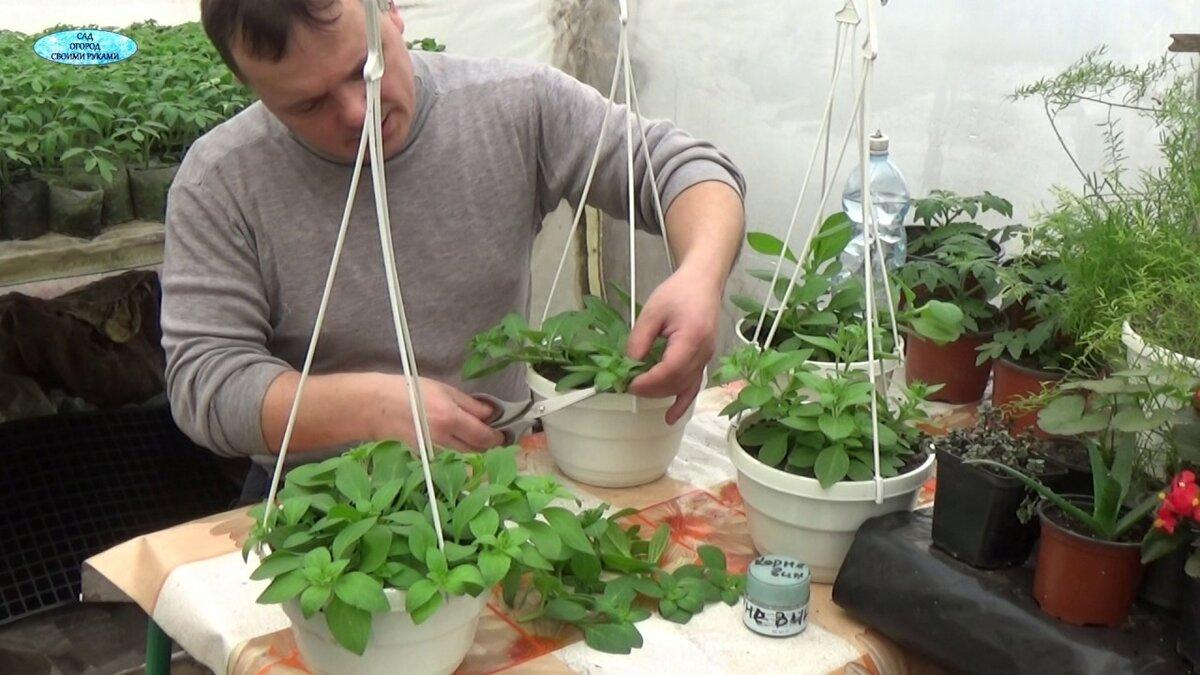 Сурфиния ампельная: уход и выращивание в домашних условиях, отличие от петунии