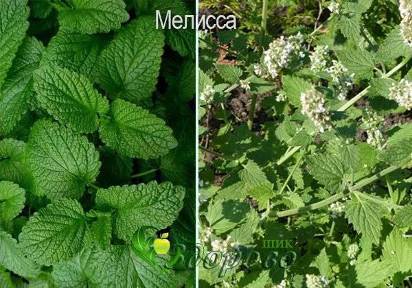 Мелисса и мята: отличие растений, выясняем, это одно и то же или нет, в чем разница по лечебным свойствам и противопоказаниям, как выглядят на фото, что полезнее?