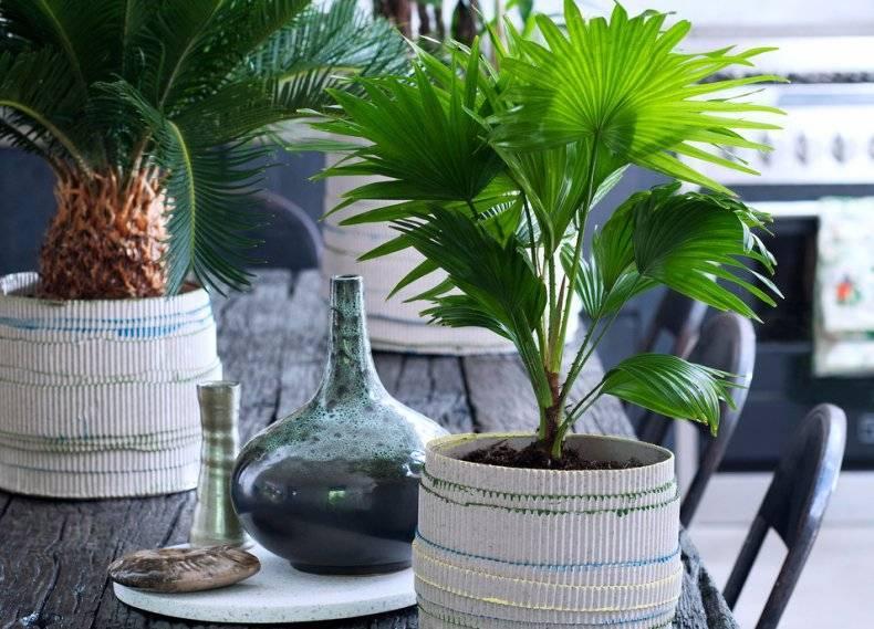 Уход за пальмой ливистона в домашних условиях: выращивание livistona rotundifolia
