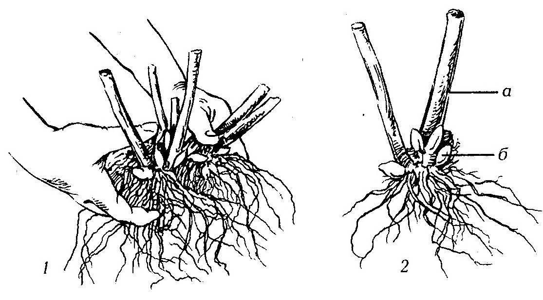 Различные способы размножения флоксов