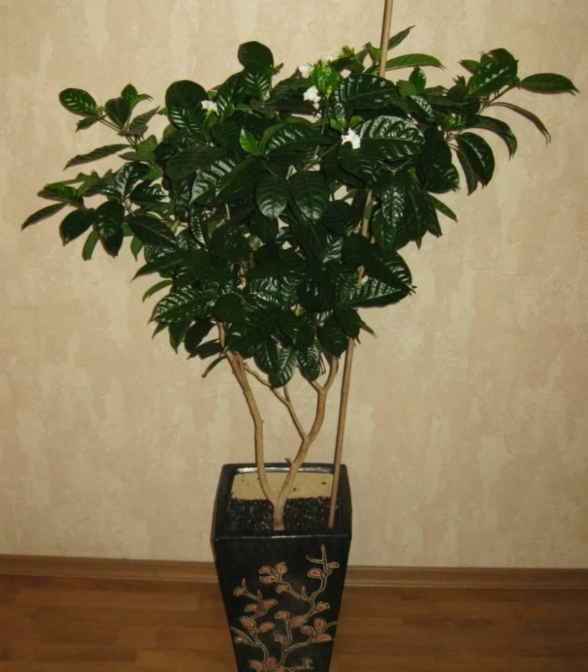 Правильный уход за комнатным растением кофе арабика