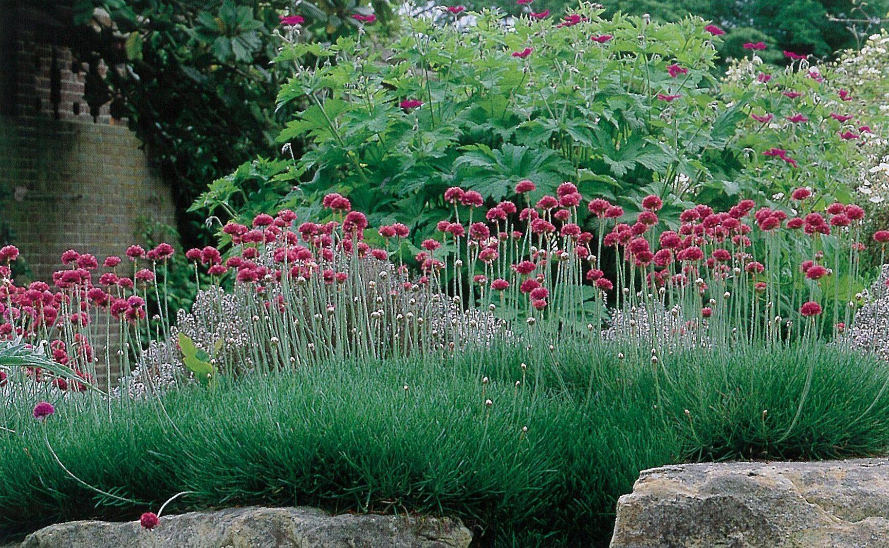 Выращивание армерии из семян. армерия: посадка и уход, выращивание из семян