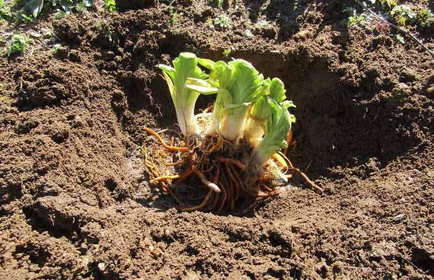 Лилейники — посадка и уход в открытом грунте