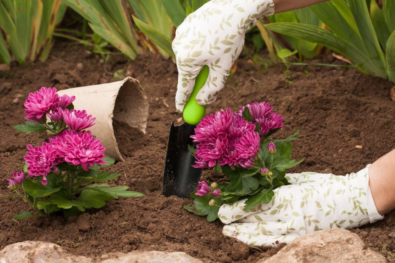 Как правильно посадить хризантему садовую многолетнюю: уход в открытом грунте