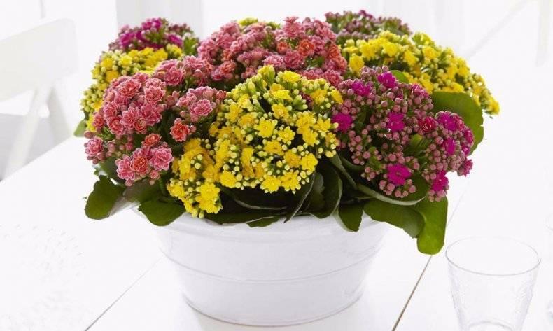 Каланхоэ микс — уход и выращивание в домашних условиях