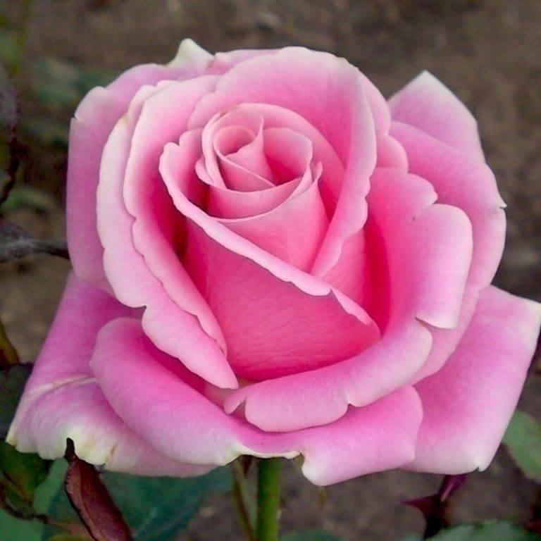Чайно-гибридные розы: посадка и уход, популярные сорта