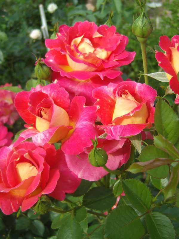 Роза Арлекин (Arlequin) — особенности сорта