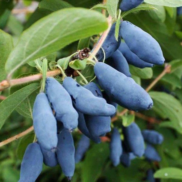 Характеристики жимолости «фиалка»: описание уникального сорта, польза плодов