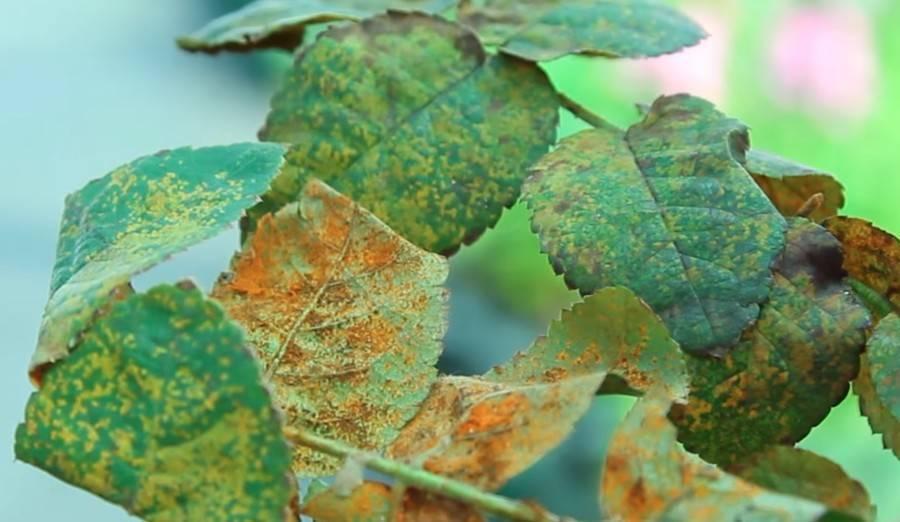 Ржавчина на розах: проявления болезни и методы лечения