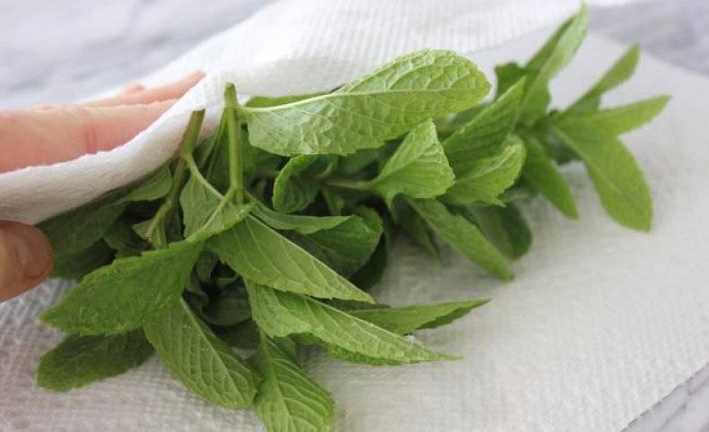 Когда сушить мелиссу и мяту: как правильно собирать и заготавливать растения на зиму, а также можно ли их замораживать, в том числе для приготовления чая?