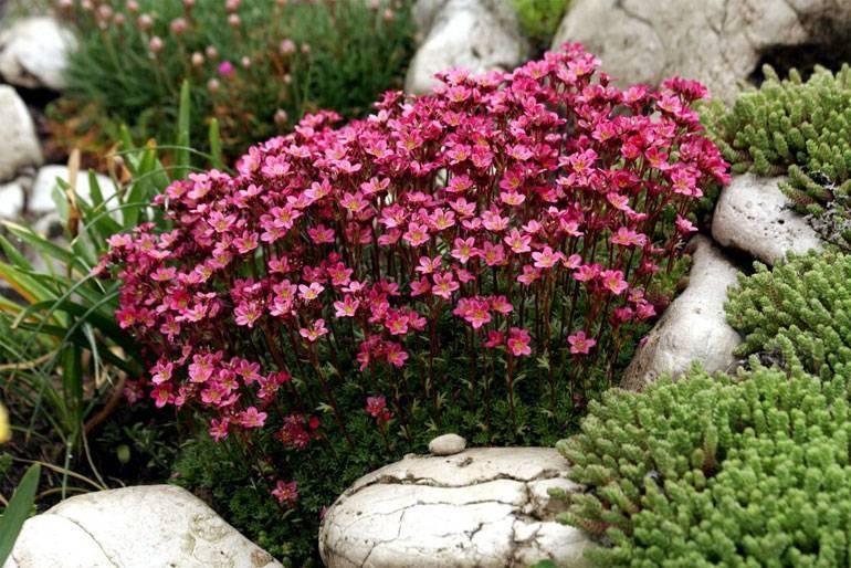 Камнеломки: чем мельче, тем заметнее!
