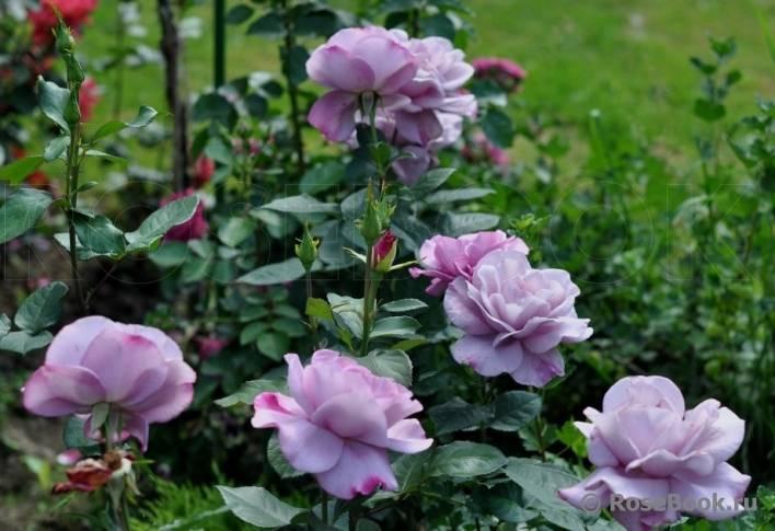 Правила посадки и ухода за розой муди блюз