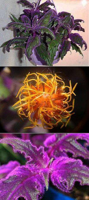Комнатный цветок гинура (синяя птица)