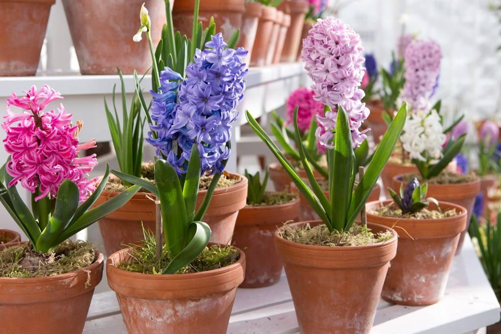 Гиацинт дома в горшке: уход за цветком после покупки и цветения