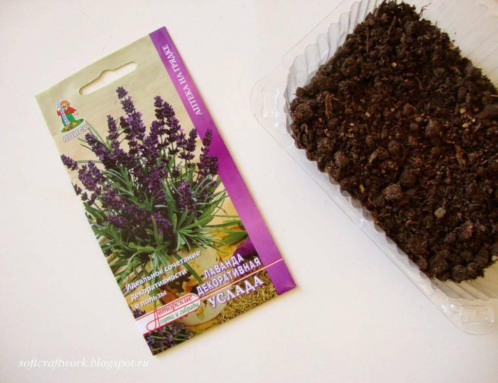 Посадка лаванды в горшок в домашних условиях: выращивание и уход за растением