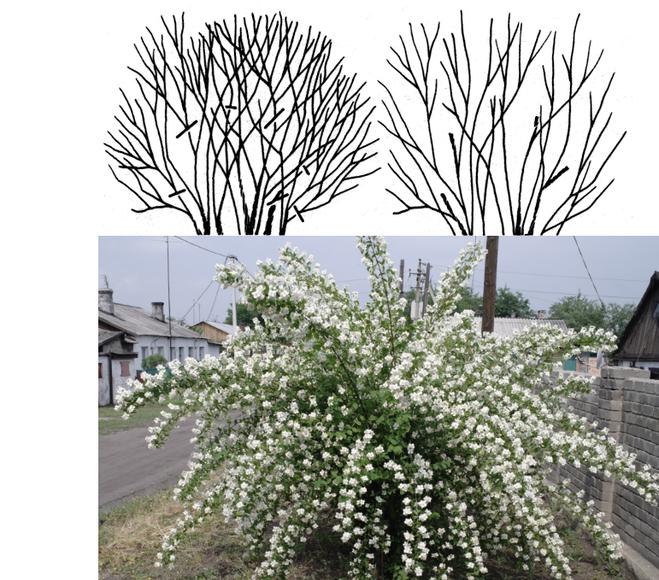 Как обрезать каланхоэ: примеры формирования куста и дальнейшего ухода за цветком