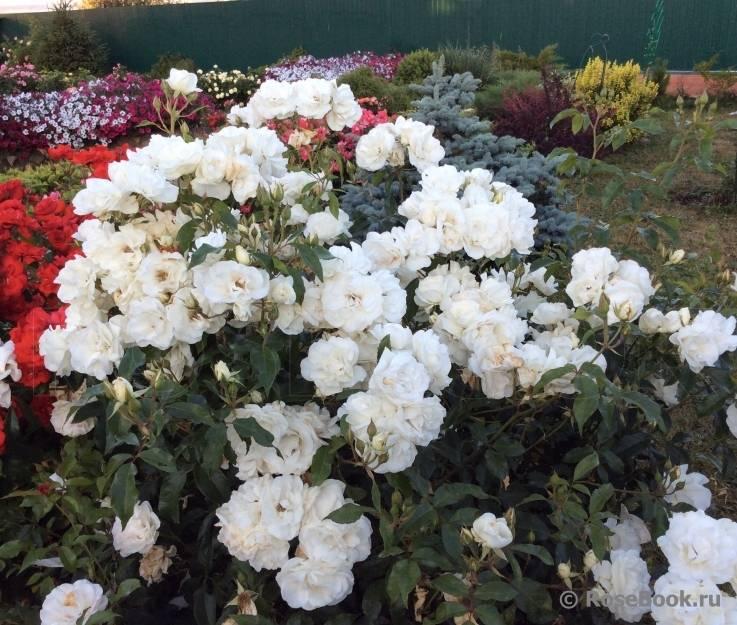Описание плетистой розы сорта айсберг: посадка и уход за парковым цветком
