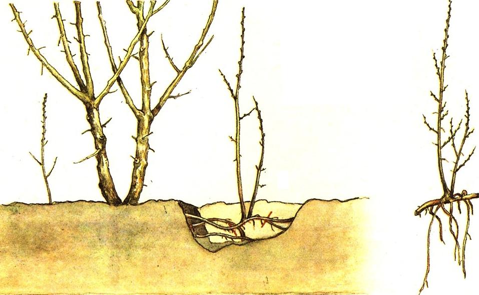 Размножение барбариса черенками: черенкование летом в домашних условиях. как размножить осенью и весной? простой способ