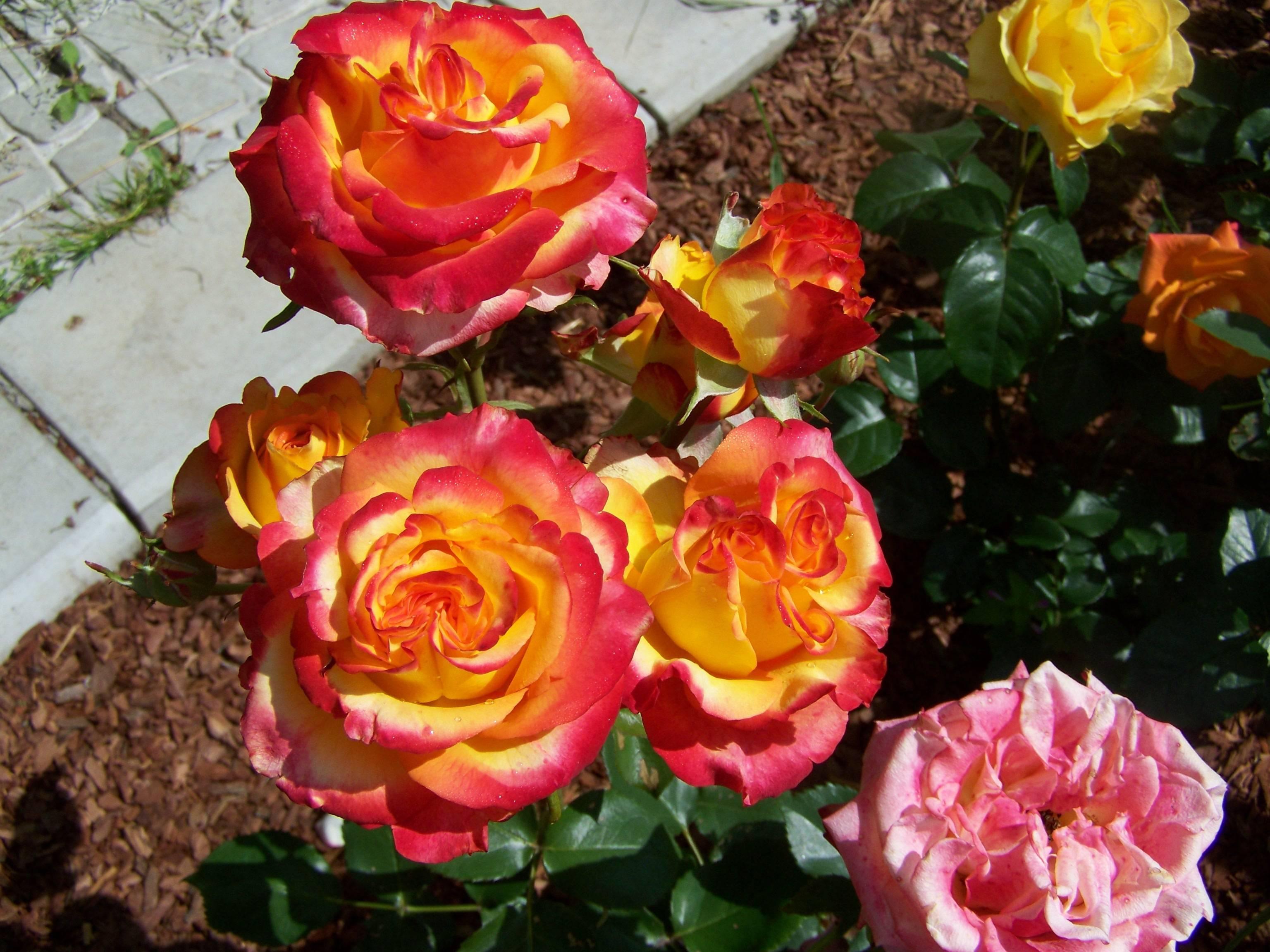 Роза ашрам (ashram) — описание повторноцветущей культуры
