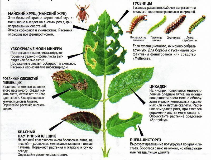 Болезни настурции — почему желтеют листья