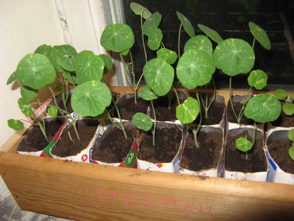 Настурция: посадка и уход. выращивание настурции из семян