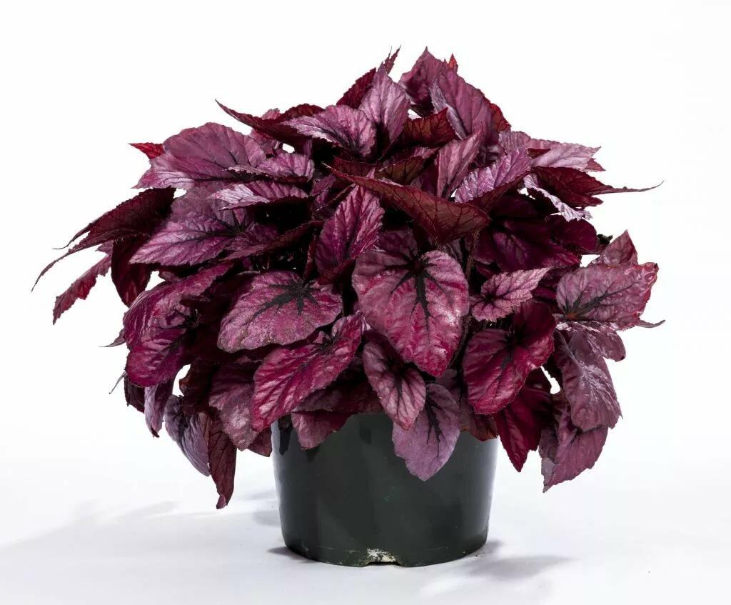 именно такие как называется вазон с красными листьями фото уменьшенные