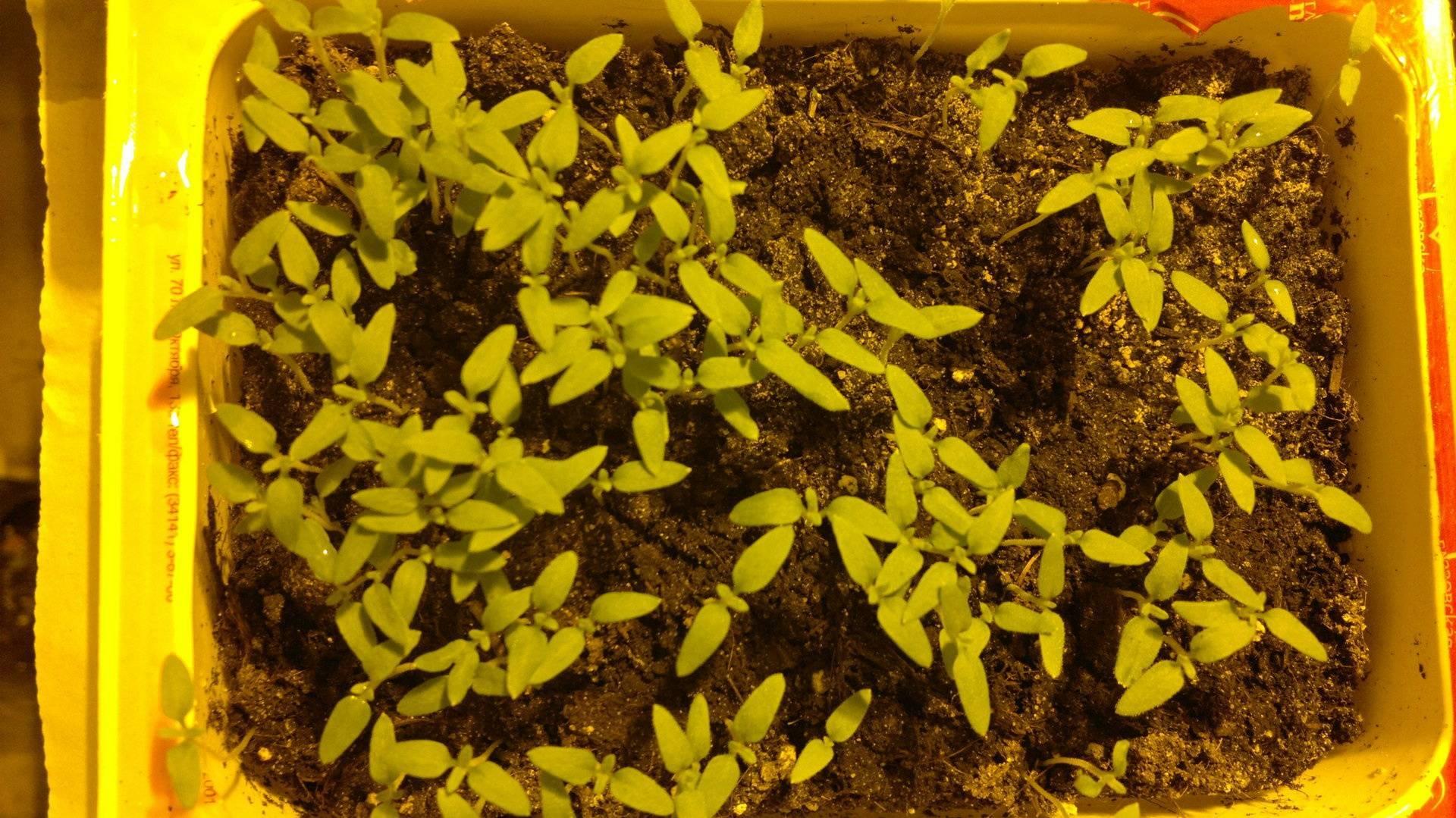 Цветы рудбекия —  описание популярных сортов с фото
