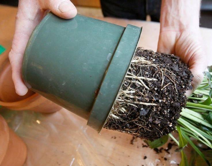 Грунт для алоэ: какая почва подходит для посадки алоэ? состав грунта. как пересадить его в домашних условиях?