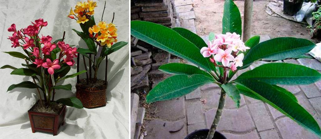 Домашняя плюмерия - выращивание из семян, черенкование, уход и фото