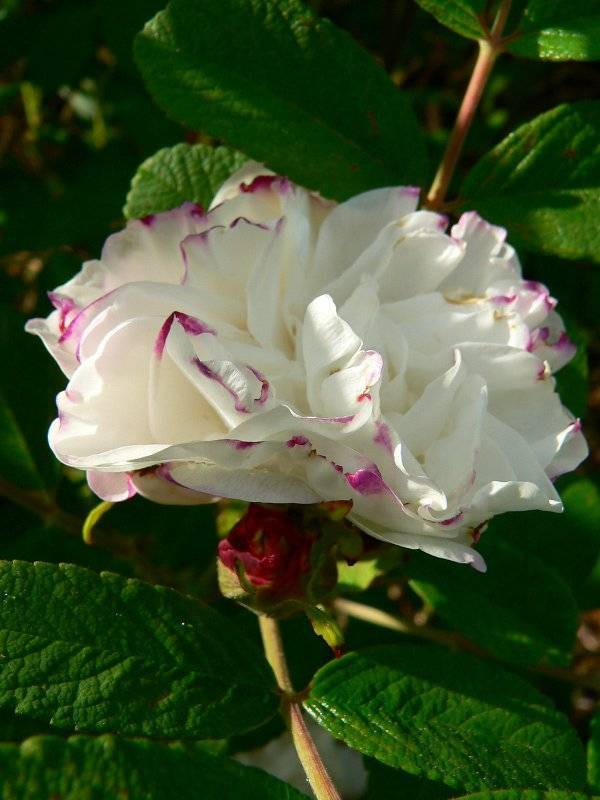 Роза луиза багнет (louise bugnet) — характеристика сорта