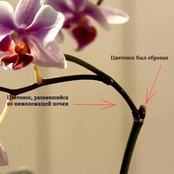 Как и когда обрезать орхидею после цветения. нужно ли удалять цветонос фаленопсиса.