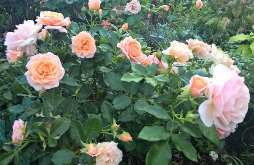 Красивая роза флорибунда: сорта на фото, посадка, уход и обрезка роз флорибунда