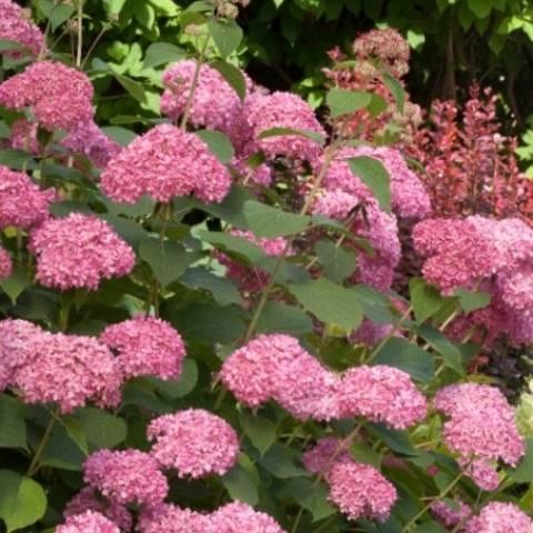 Тонкости посадки и выращивания красивоцветущей древовидной гортензии аннабель
