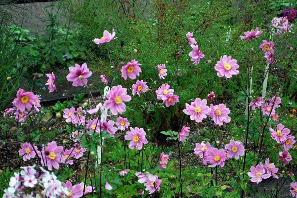 Анемона японская в дизайне сада: выращивание растения из семян, посадка и уход, фото цветов