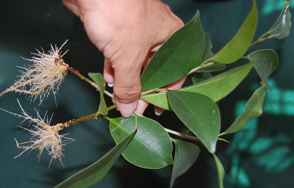 Как посадить фикус черенком: правила укоренения и посадки