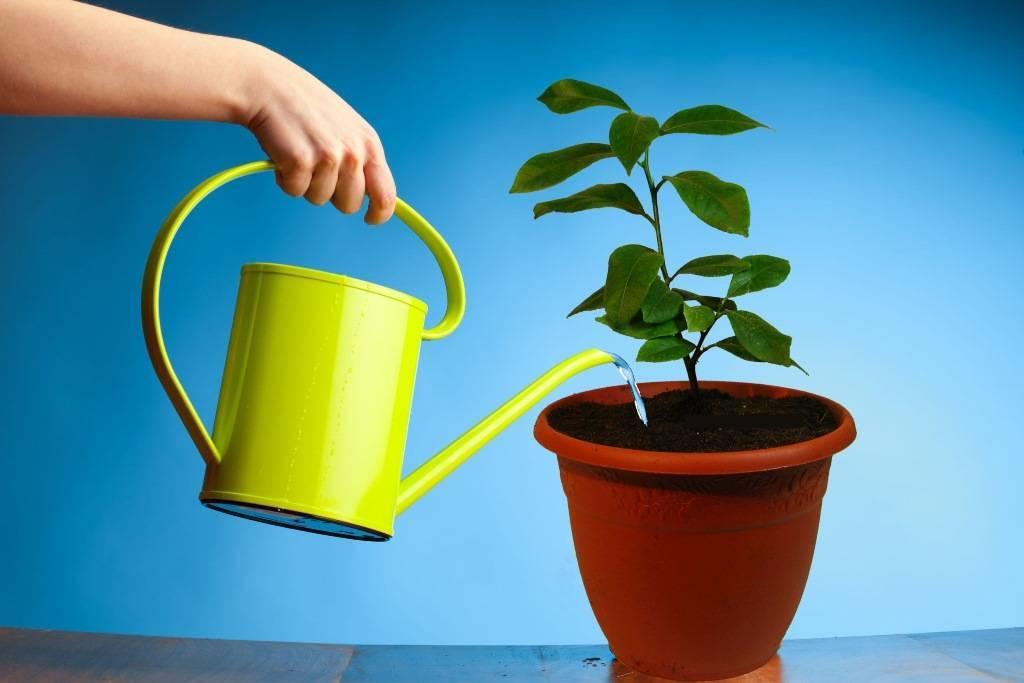 Особенности ухода за абелией дома: полив, температура, почва и размножение