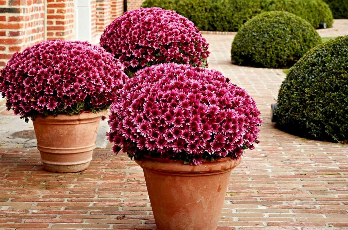 Обзор сортов хризантем мультифлора. что собой представляет хризантема мультифлора шаровидная