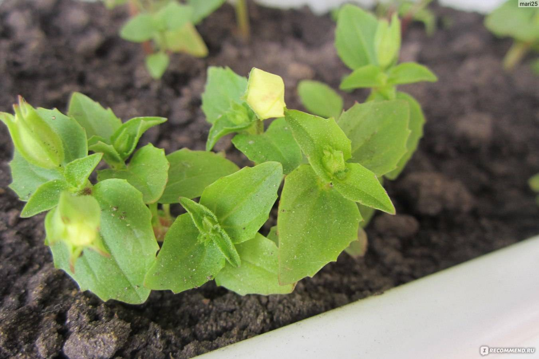 Выращивание мимулюса из семян: посадка, выбор почвы, пикирование