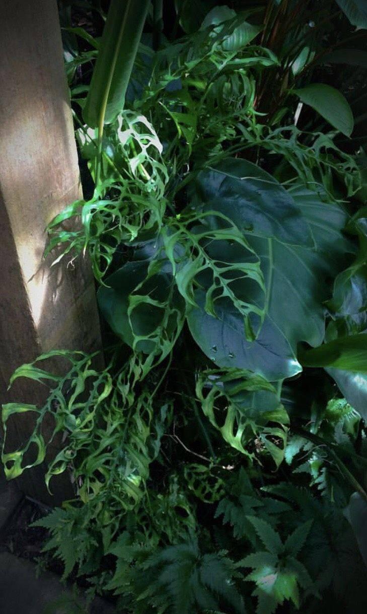 Виды крассул: овата (сrassula ovata), хоббит, голлум, crassula lactea и другие