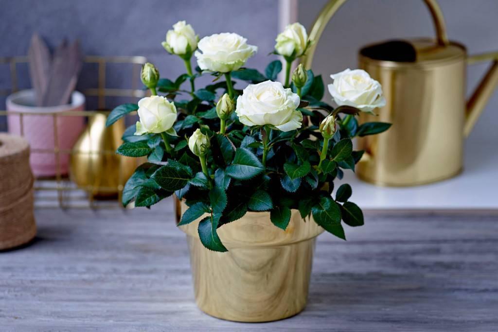 Чайная роза. уход в домашних условиях