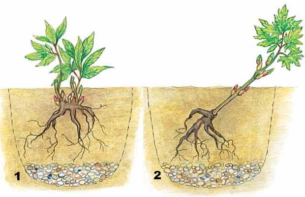 Пересадка травянистого пиона на новое место: сроки, инструкция