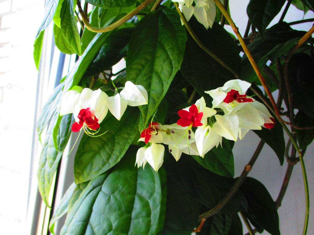 Почему не цветет клеродендрум и как это исправить