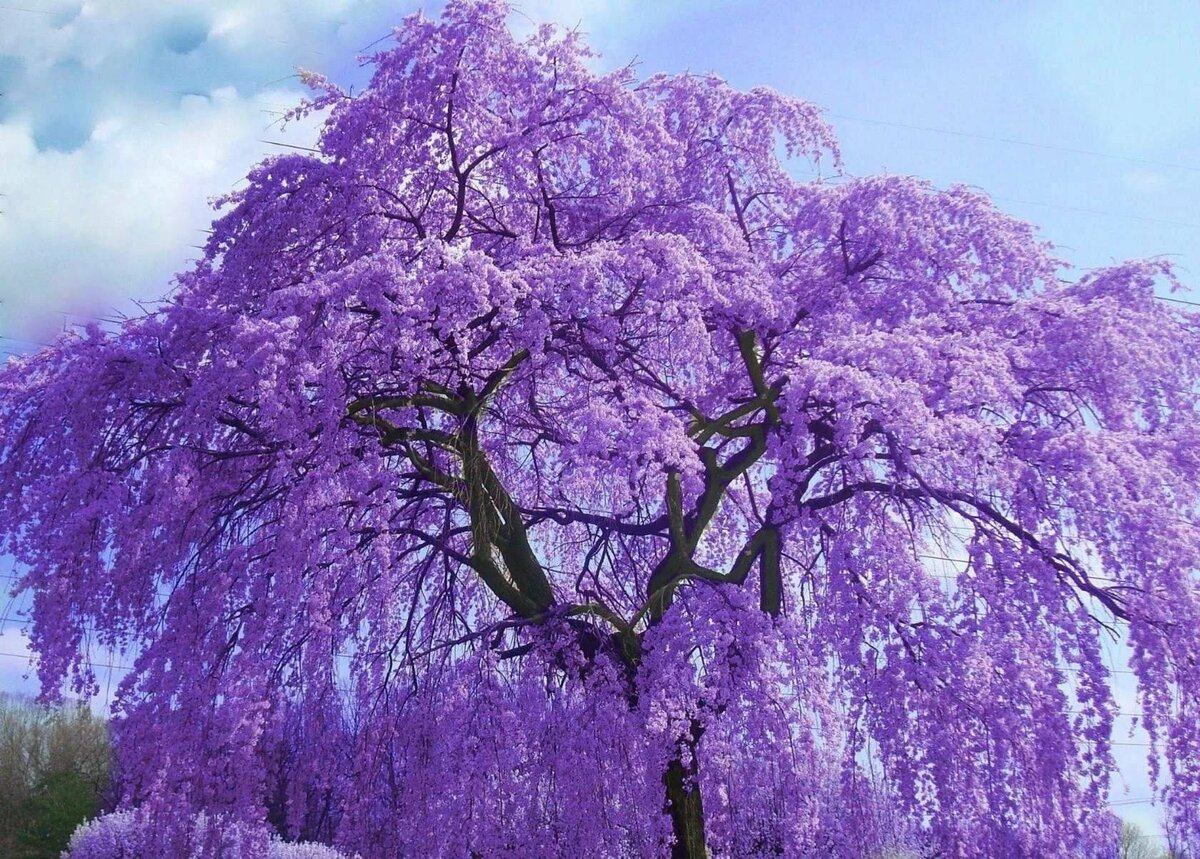 Фиалковое дерево жакаранда или джакаранда мимозолистная: где растет