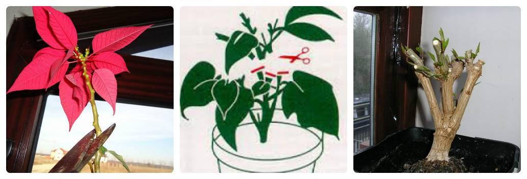 Красная пуансеттия: сорта, подкормки, обрезка